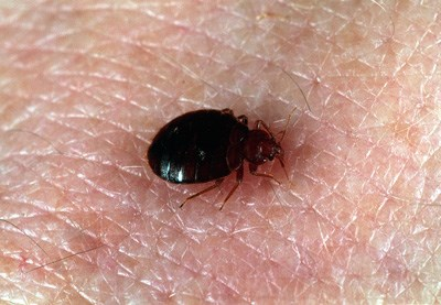 Bedbugs are nocturnal human parasites that become swollen with blood as the feed.