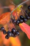 Is the aronia berry the newest superfruit?