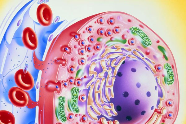 Insulin (blue dots) promotes glucose uptake in the liver and muscles, controlling blood sugar.