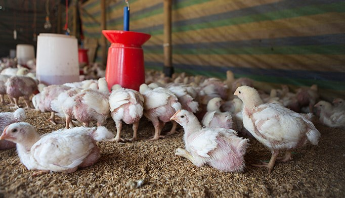FDA starts phasing out antibiotics in food animals