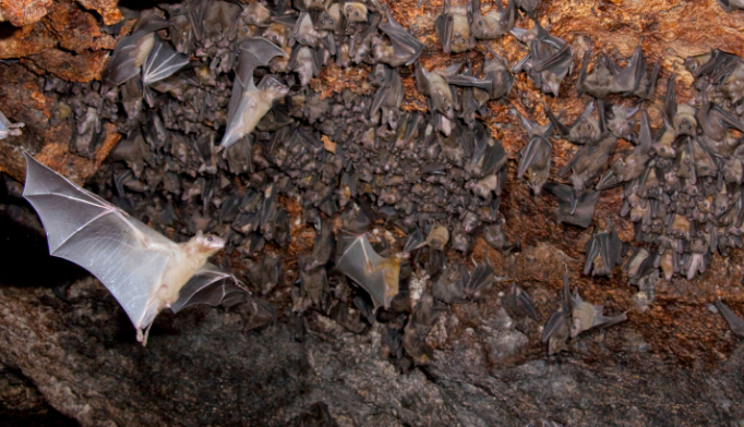 Ebola epidemic may have been started by exposure to bats