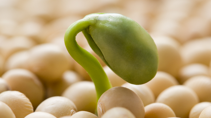 Soy provides no benefits for asthma care