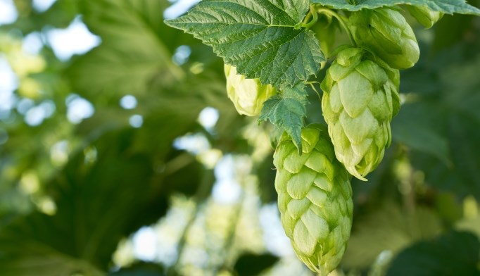 Hops have sedative properties