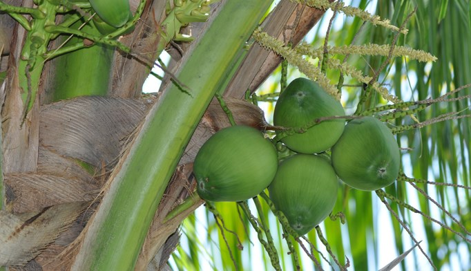 Coconut oil may improve lipid profiles, reduce abdominal adiposity