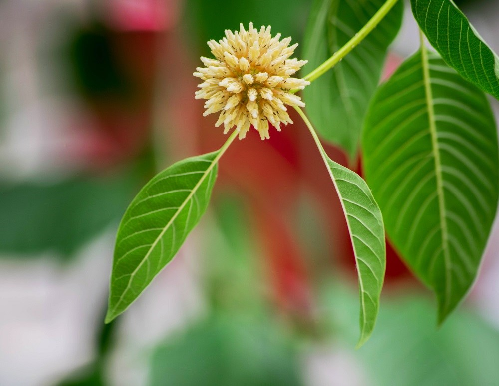 Kratom: The new alternative to opioids