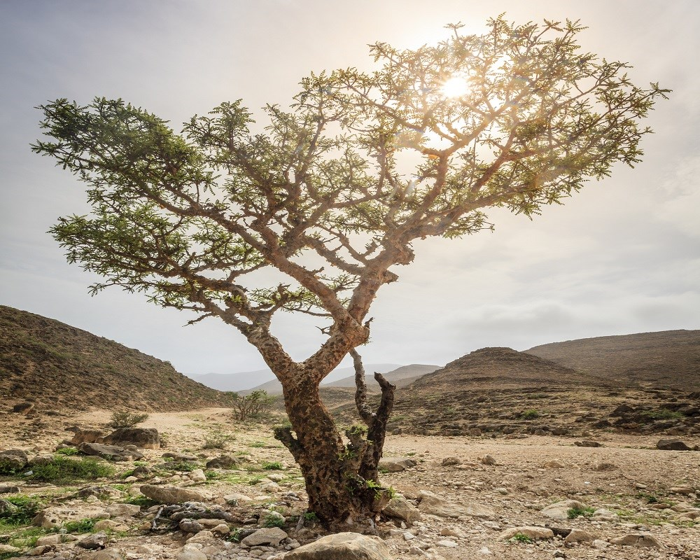 Frankincense: a rediscovered botanical product