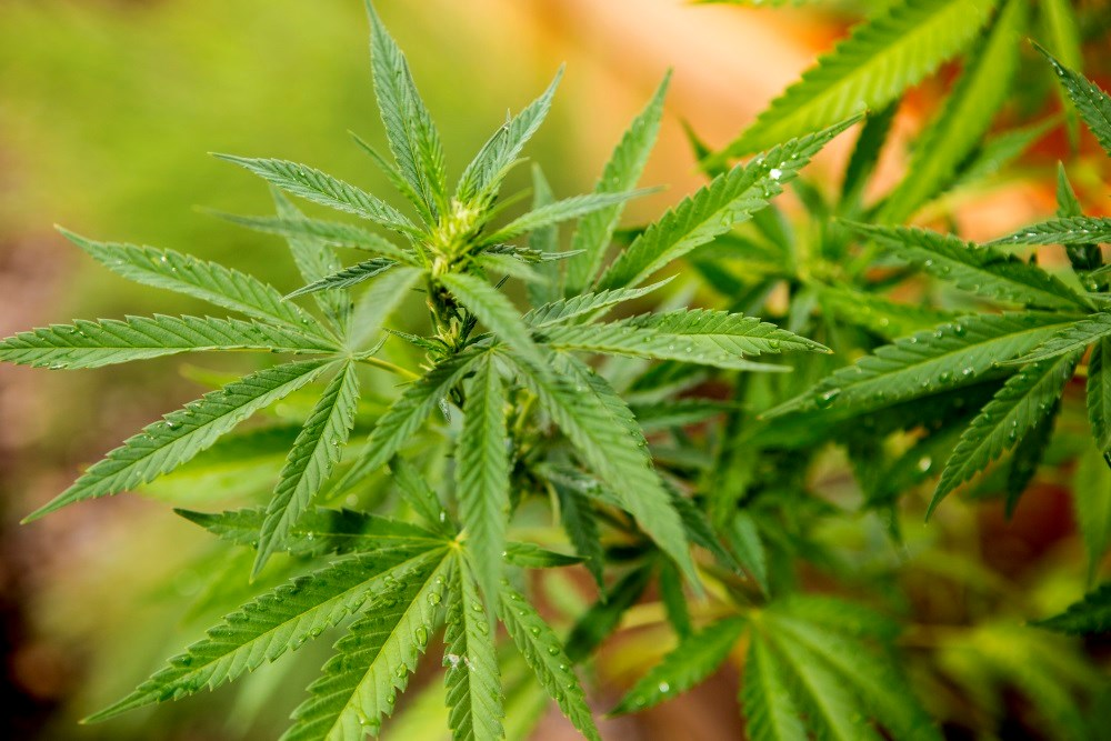 Cannabis-based medicine may reduce seizures in certain epilepsy patients