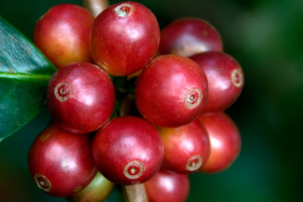 Coffee: Potent chemical properties may offer health benefits