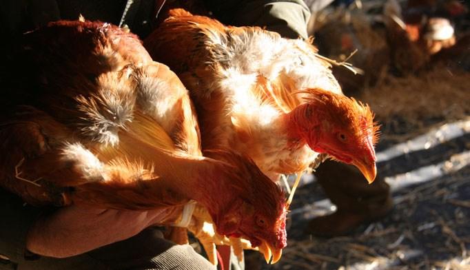 New strain of bird flu jumps to humans
