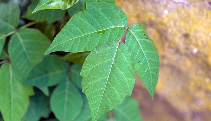 Ocular poison ivy rash