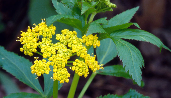 Poisonous plants another plant that causes skin irritation is wild parsnip its stems and leaves contain psoralens a chemical that causes phytophotodermatitis mightylinksfo