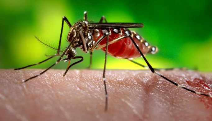 If a person returns from traveling [carrying] the virus, a mosquito may bite that person, become infected, and bite another person.