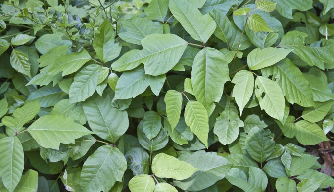 More tips for poison ivy, oak, and sumac