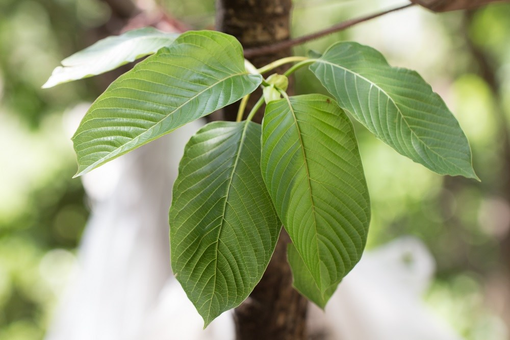 After public opposition, the DEA has withdrawn its plan to classify the kratom plant as a schedule 1 substance.