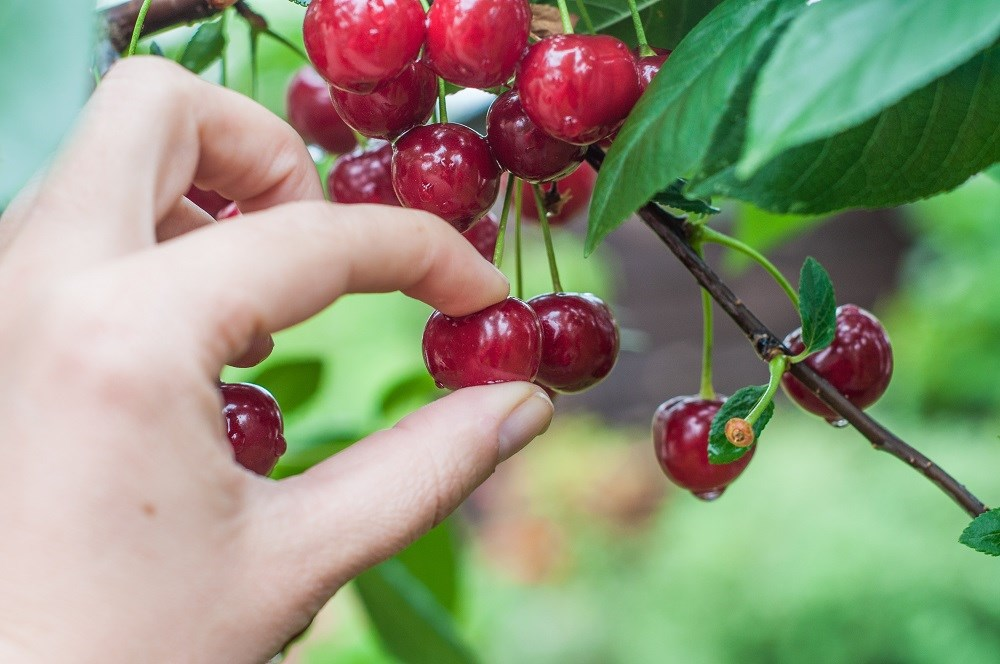 Picking cherries leads to a case of pseudohyperglycemia