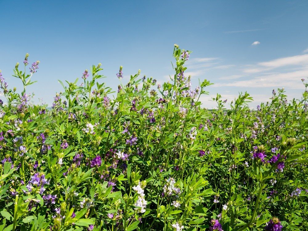 Alfalfa: weighing the risks and benefits