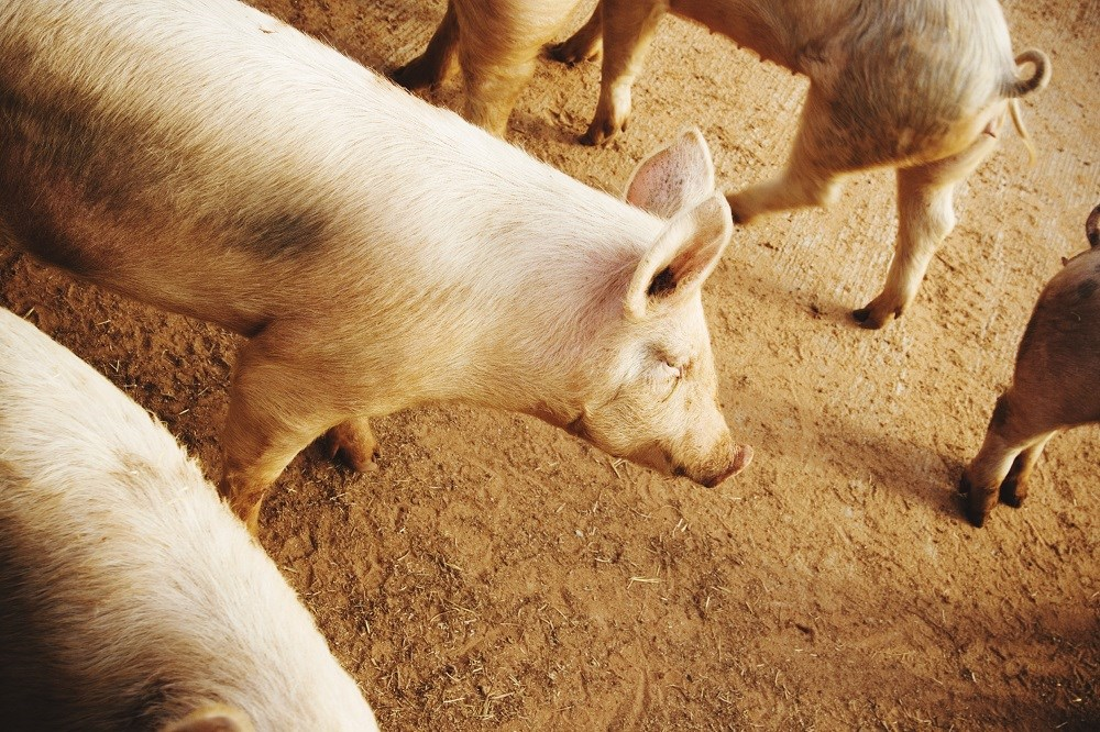 Ohio and Michigan state fairs reported swine that were infected with H3N2 virus, which was transmitted to humans.