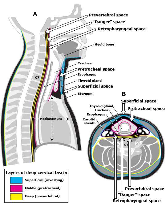 Retropharyngeal space anatomy